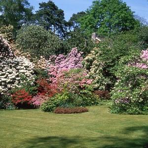 Calluna, Amy Doncaster's Garden 1980s