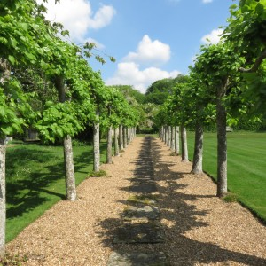 Pleached avenue May 2017