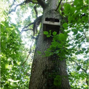 Owl box high in the branches of a tree in Sandy Dell